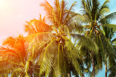 Coco palm tree in orange light. Tropical landscape with palms Royalty Free Stock Photography