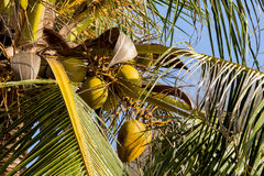 Coco-palm tree with yellow nut Royalty Free Stock Photo