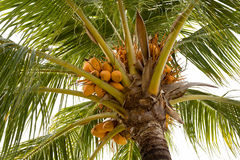 Coco-palm tree with yellow nut Stock Photos