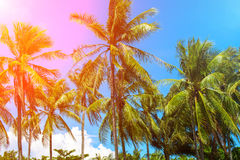 Coco palm trees in pink sun flare. Tropical landscape with palms. Stock Photo