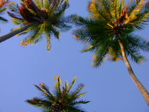 Coco Palms. Looking up at coconut palms in the afternoon light Stock Photo