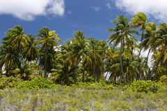 Coco palms forest Stock Images