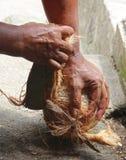 Coco que pealing à mão Imagem de Stock Royalty Free