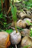 Coco seco Fotos de archivo