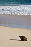 Coco solitario en la playa Foto de archivo libre de regalías