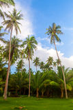 Coco tree Stock Images