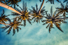 Coco trees. Coco tree with bule sky Stock Image
