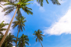 Coco trees Royalty Free Stock Photo