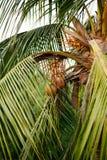 Coco verde imagens de stock