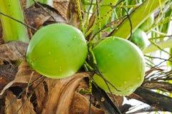 Coco verde en árbol Fotos de archivo libres de regalías