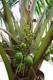 Coco verde en árbol foto de archivo libre de regalías