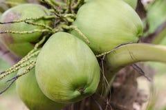 Coco verde en árbol Fotografía de archivo libre de regalías
