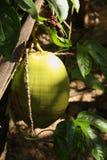 Coco verde en árbol con luz del sol fotografía de archivo libre de regalías
