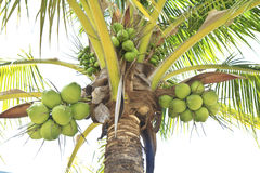 Coco verde en el árbol fotografía de archivo libre de regalías