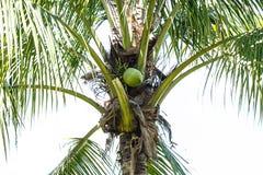 Coco verde en el árbol Fotografía de archivo