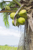 Coco verde en el árbol con el cielo azul fotografía de archivo libre de regalías