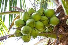 Coco verde fresco em uma árvore em meu jardim imagem de stock