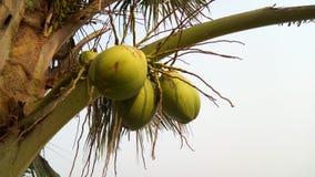 Coco verde hermoso Coco verde, foto de archivo