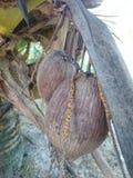 Coco viejo en la palmera Imagen de archivo