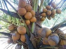 Coco viejo en la palmera Imagen de archivo libre de regalías