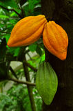 Cocoa. Ripe cocoa pods ready for harvest Royalty Free Stock Photo