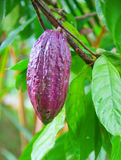 Cocoa bean stock photos