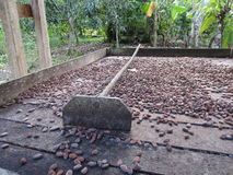 Cocoa bean. Drying after fermentation Royalty Free Stock Image