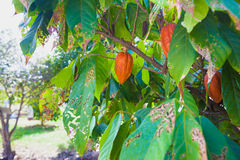 Cocoa Bean in Fruit on Tree Stock Photos