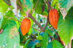 Cocoa Bean in Fruit on Tree Stock Images