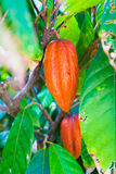 Cocoa Bean in Fruit on Tree Stock Photography