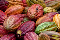 Cocoa bean pods. Ripe Trinitario cocoa bean pods after harvest in the rainforest of the Caribbean island of Grenada Stock Images