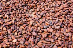Cocoa-beans. Fermented and dried cocoa-beans Royalty Free Stock Image