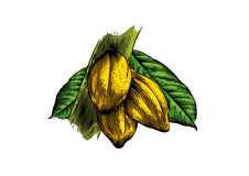 Cocoa beans on the branch Stock Photo
