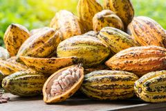 Cacao fruit, raw cacao beans, Cocoa pod on white background. stock photos