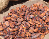 Cocoa Beans. Collected to be dried Royalty Free Stock Images