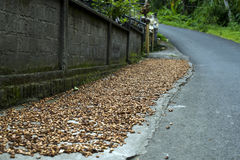 Cocoa beans drying on side of road. Cocoa beans drying on the side of the road in a village in Bali, Indonesia Royalty Free Stock Photos