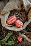 Cocoa Beans and Fruits. Cocoa Beans and Cocoa Fruits in a jute bag Royalty Free Stock Image