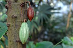 Cocoa beans on Malvacea Theobroma Cacao tree plant used for production of chocolate royalty free stock photo