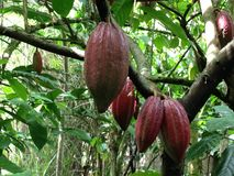 Cocoa Beans. This photo is taken in Bali at a Luwak Coffee plantation Stock Photos