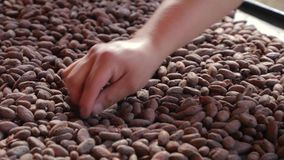Cocoa beans picked by hand. Cocoa beans in a pile being selected by hand stock footage