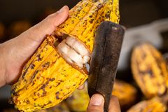 Cocoa beans and cocoa pod. Cocoa beans and cocoa pod africa background brown cacao chocolate close cracked crop cut delicious dried fat food forest fruit royalty free stock image