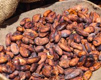 Cocoa beans to be sorted royalty free stock photos