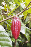 Cocoa-beans on a tree. Indonesia Stock Photography