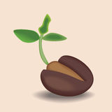 Cocoa bob. The germ of the cacao bean Royalty Free Stock Image