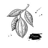 Cocoa branch  superfood drawing.  hand drawn Stock Image