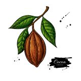 Cocoa branch vector superfood drawing. Organic healthy food sket Royalty Free Illustration