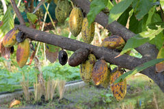 Cocoa, Cacao, Chocolate Tree, fruits on tree. Royalty Free Stock Photography