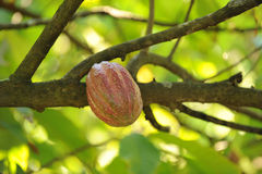 Cocoa or cacao pod on tree Royalty Free Stock Photos