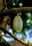 Cocoa Cacao pods on tree branch Royalty Free Stock Photos