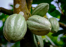 Cocoa Cacao pods on tree branch Royalty Free Stock Images